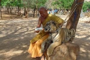 Kanchanaburi tigre