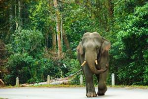 Khao yai elefante